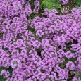 Латинско име на мащерка Thymus serpyllum (Labiatae) Други български имена на мащерка овчарска мерудия, бабина душица, овчарски босилек Имена на чужди езици на мащерка Breckland thyme, Breckland-garden, creeping thyme, mother-of-thyme, wild thyme (английски); […]